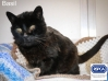 Cat Found in Heswall (CH60)
