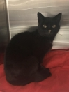 Cat Found in Ilford (IG1)