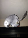 African grey parrot Lost in Purfleet (RM19)