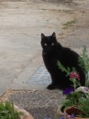 Cat Lost in Whitland (SA34)