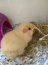 Guinea Pig Found in Hayes (UB4)