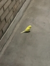 Budgie Found in Hackney (N1)