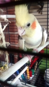 Cockatiel Found in Chadderton (OL9)