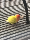 Parakeet Found in London (N1)