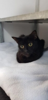 Cat Found in Chester (CH1)