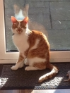 Cat Lost in Hednesford, Cannock (WS12)