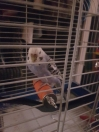 Budgie Found in Walthamstow (E17)