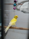 Canary Found in Camden (NW6)