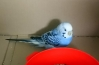 Normal green type budgie Found in Lowestoft (NR32)