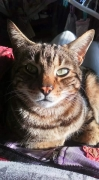 Cat Lost in Kempsey Worcestershire (WR5)