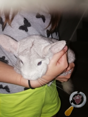 lost Chinchilla