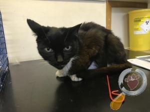 Found Cat :: Addlestone (KT15)