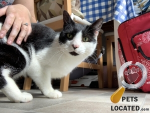 Cat lost in Droitwich Spa, Wychavon