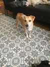 Brown and White Dog lost in Brent (NW10) on 3rd December 2020