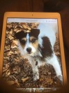 Tri-colour Dog lost in Spelthorne (TW18) on 15th December 2020